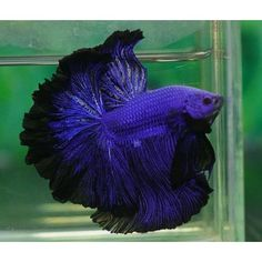 Betta Splendens (Siamese fighting fish) found on Polyvore featuring polyvore