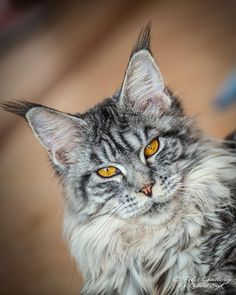 41 Stunning Pictures Of The Maine Coon, One Of The World's Largest Cats 11