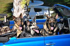 Florida, Ratschlaege und Tips von Monika Wilson, Century 21 Sunbelt: Hunde in Florida - Tips und Gefahren