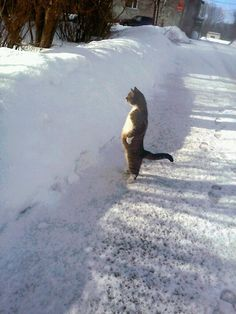 "A rare snowcat general surveying her territory and weeping ""because there are no more worlds to conquer."" 