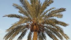 Palm tree in my house in Najaf / Iraq.