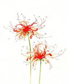 In Japan the Red Spider Lily signals the arrival of fall. Many Buddhist will use it to celebrate the arrival of fall with a ceremony at the tomb of one of their ancestors. They plant them on graves because it shows a tribute to the dead. Watercolor Cards, Watercolor Illustration, Watercolour Painting, Watercolor Flowers, Painting & Drawing, Watercolors, Watercolor Portraits, Watercolor Landscape, Red Spider Lily