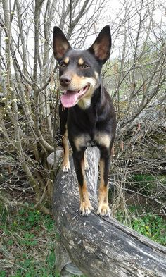 Australian Kelpie 31 to 44 pounds 15 to 20 inches 12 to 15 years* Australian Dog Breeds, Australian Bulldog, Australian Shepherds, West Highland Terrier, Scottish Terrier, Rottweiler, Australia Animals, Aussie Dogs, Group Of Dogs