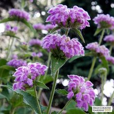 Flower Gardening Phlomis cashmeriana photo courtesy of Plant Select - Phlomis cashmeriana (Kashmir Sage) is a dazzling plant with huge leaves and stately, bright lavender-pink flower spikes give the plant great architectural value Summer Garden, Winter Garden, Bulb Flowers, Pink Flowers, Rare Flowers, Water Wise Landscaping, Landscaping Plants, Landscaping Ideas, High Country Gardens