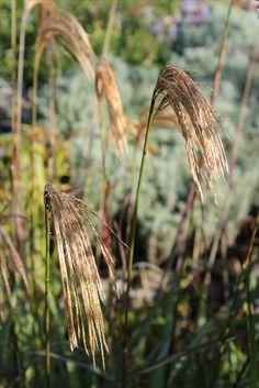 Camilla Hiley - Garden and Landscape Designer - Salisbury, Wiltshire UK Landscape Design, Dandelion, Autumn, Garden, Flowers, Plants, Fall, Dandelions, Garten