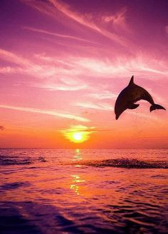 / Dolphin on the background of sunset Please stop this barbaric and senseless practice.  - Stop the Dolphin Slaughter NOW