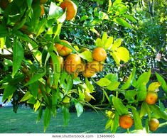 Soft citruses on tree at my Shutterstock portfolio. Agriculture, Photo Editing, Royalty Free Stock Photos, Victoria, Illustration, Garden, Pictures, Image, Editing Photos