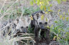 Baby Spotted hyenas (by WAVA Limited)