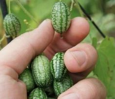 """Cucamelons"" Is it a cucumber? A watermelon? It is the size of a large grape and will make an excellent novelty addition to your salad, adding a cucumber and lime flavor to your dish. Sow these seeds in April and May (and even into June in warmer areas). You will have a prolific crop in 9-12 weeks. Grab some seeds at our Amazon partner site (here)."