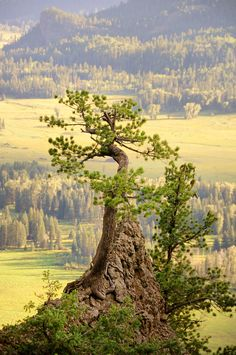 Standing Guard, Wolf Creek Pass, Colorado - a model for a bonsai. What A Wonderful World, Beautiful World, Beautiful Places, Wolf Creek, Old Trees, Nature Tree, Tree Forest, Jolie Photo, Parcs