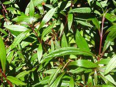 Les plantes médicinales réunionnaises et leurs vertus. http://www.hertzreunion.com/reunion/plantes-medicinales-reunionnaises-se-soigner-naturellement_8043