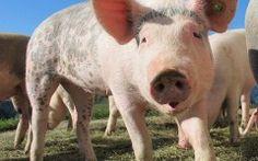 Cute Pig Closeup Funny Image
