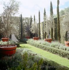 Olive trees in terracotta pots, creeping fig and cypress trees- love this for garden