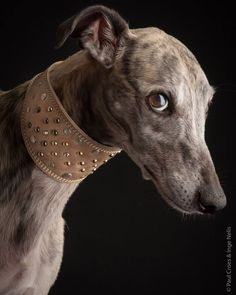 Vegas. Female. She is the messenger for the pack. She is the fastes dog you'll meet. Greyhound Art, Italian Greyhound, Most Beautiful Dogs, Animals Beautiful, I Love Dogs, Cute Dogs, Greyhound Pictures, Grey Hound Dog, Dog Photography