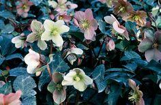 Spânz - Helleborus x ballardiae Garden Seeds, Garden Plants, Calendula, Leaf Shapes, Colorful Flowers, New Look, Patterns, Ideas, Balcony