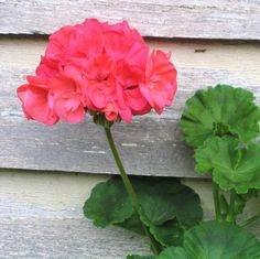 favorite summer landscaping tips and post!Our favorite summer landscaping tips and post! Beautiful Flowers, Spice Garden, Flowers, Pelargonium, Landscaping Tips, Plants, Geraniums, Garden Fertilizer, Planting Flowers