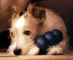 The Jack Russell Terrier can make a terrific family pet - in the right environment