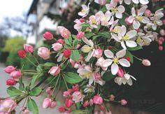 MALUS floribunda VAN HOUTTE., Japanese crab | Pflanzen | null | Bruns Site