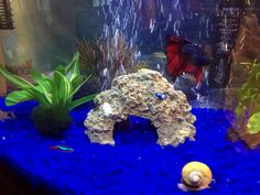Red and Blue Betta Fish (Richard Petty), Golden Apple Snail (Turbo), Red and Blue Neon Tetras (Ricky Bobby and Carl), 2 Panda Cory's (Shake & Bake) and a  Marimo Ball