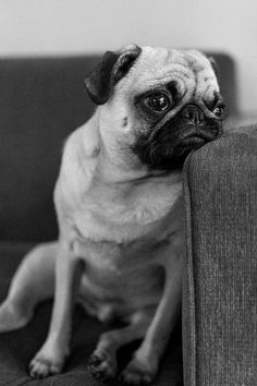 what is pug? why is pug? Pug Love, I Love Dogs, Cute Dogs, Funny Cats, Funny Animals, Cute Animals, Pug Pictures, Animal Pictures, Pictures Of Pug Puppies