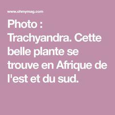 Photo : Trachyandra. Cette belle plante se trouve en Afrique de l'est et du sud.