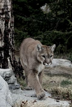 pride cougars personals The cougar (puma concolor), also commonly known as the puma, mountain lion, panther, or catamount, is a large felid of the subfamily felinae native to the americas.