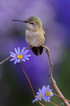 [Colibrí de Ana] » Anna's Hummingbird