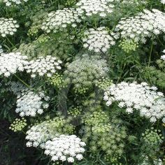 Ammi majus is a tall annual, best sown in the autumn. It forms delicate umbels of white lacy blooms which interlace amongst the rose bushes. Wild Flowers, White Flowers, Plants, Cottage Garden, White Gardens, Ornamental Grasses, Moon Garden, Dream Garden, Garden Inspiration