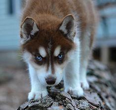 Husky!