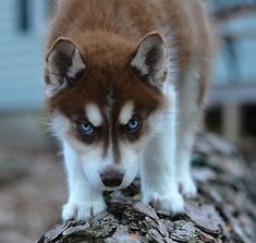 Husky puppy walking on a log