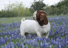 Boer Goat Bucks at Circle Star Boers