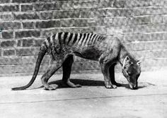 A Tasmanian tiger in captivity, c1930. The last known one died at Hobart Zoo in Tasmana on September 7, 1936.