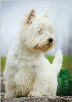 West Highland White Terrier (Westie)-maybe if I were to get a small dog (allergy friendly) West Highland Terrier, West Terrier, Terriers, Highlands Terrier, Terrier Dogs, Westies, Westie Puppies, Dogs And Puppies, Doggies