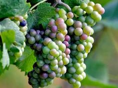 uvas brancas - Ask.com Image Search