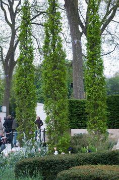 Quercus fastigiata 'Koster' on Ulf Nordfjell's Chelsea Garden 2013