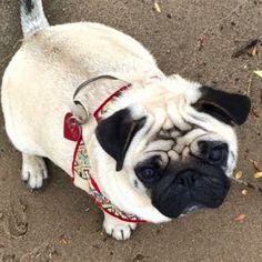 Beau in her Aztec Dog Harness from Oosterbeek The Netherlands | MissFlo | Pug
