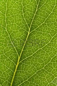 Green Leaf Vein close up shot for background Stock Photo