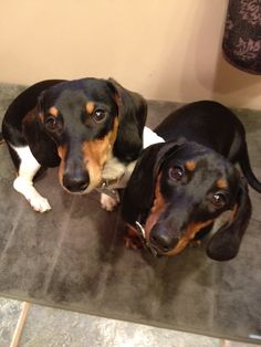 Twins!!! Hot dog-Dachshund-Doxie-Weenie dog-Sausage dogs