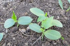 """Воскресенье 7 мая. """"Чудо природы"""". Семена , посаженные в землю в мае 2016 года, взошли ровно через год.  (52 радости моей деревенской жизни) #52радости"""