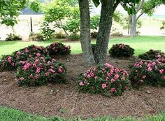 Chinzan Dwarf Azalea - might need too much shade for space