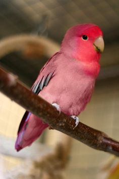 Agaporni Roseicolli... Looks like one of my lovebirds took a bath in koolaid.