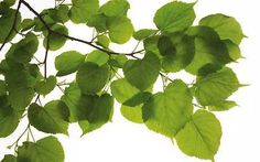 Temperate Climate Permaculture: Permaculture Plants: Lime, Linden, and Basswood