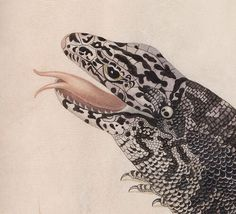 Black Tegu Lizard (detail) by Maria Sibylla Merian, 17th century. Pen and black ink, transparent and opaque watercolour on vellum | The Morgan Library