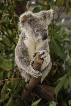 Cuddly Aussie Koala - by: (Dreamworld Australia)
