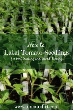 How to label tomato seedlings for best tracking and record-keeping with Tomato Dirt Tomato Seedlings, Tomato Seeds, Tomato Plants, Growing Tomatoes In Containers, Grow Tomatoes, Growing Vegetables, Sustainable Gardening, Urban Gardening, Gardening Tips
