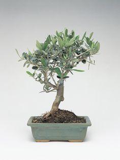 Olive Bonsai Tree (Olea Europaea)