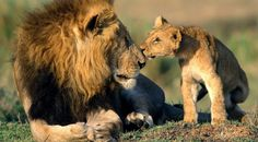African lion is one of the Big Cats, which is a group of felines comprised of the tiger, lion, jaguar and leopard. Learn facts about the lion here. Animals Kissing, Baby Animals, Cute Animals, Wild Animals, Animal Babies, Large Animals, Animals Images, Nature Animals, Funny Animals