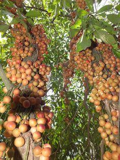 Burmese Grape tree also known as Baccaurea sapida fruit. - Baccaurea 木奶果属 Chi Dâu da in Hue-Vietnam DSCF0544 - Baccaurea - Wikipedia