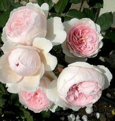 Pale roses.