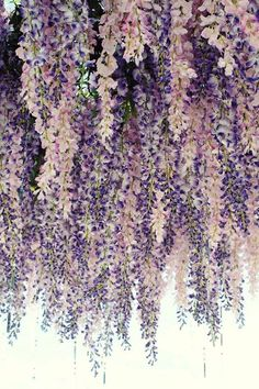 Lavender Wedding Color Palette - Would be beautiful hanging from the entrance. Hanging wisteria floral ceiling in lavender and blush. Lavender Wedding Colors, Lavender Flowers, Lavender Color, Lavender Weddings, Cascading Flowers, Lavender Ideas, Colorful Roses, Lavander, Purple Wedding Themes